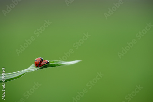 Photographie Two ladybug on grass macro close up, love concept