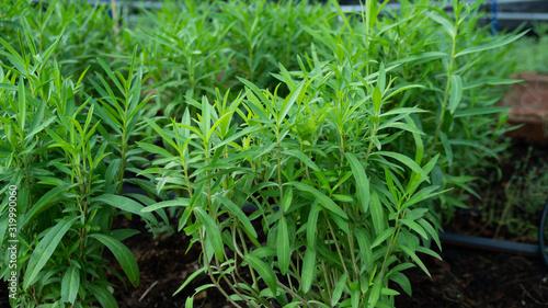 Fototapeta green leaves caraway in the garden obraz