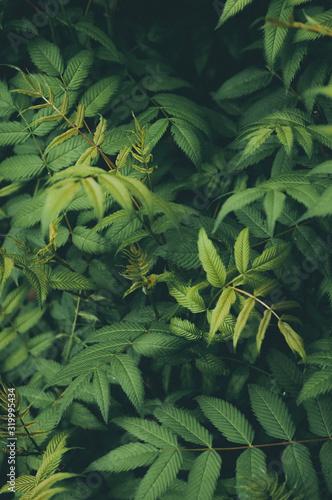Background of fresh green fern leaves Wall mural