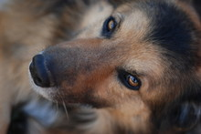 Close-Up Portrait Of Brown Dog