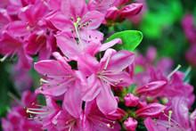 Soft Purple Rhododendron Flowe...