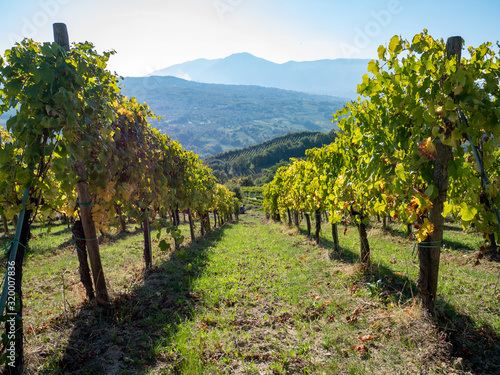 a beautiful vineyard of Greco di Tufo wine, an excellent Italian white wine DOCG Wallpaper Mural