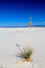 A Yucca Plant On A Sand Dune -...