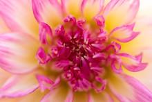 Macro Of A Pink Yellow Dahlia