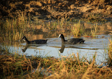 Red-knobbed Coot Or Crested Coot, (Fulica Cristata) - A Pair In A Dam
