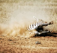 Fallen Zebra With Dust On Field