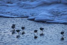 High Angle View Of Sandpipers Perching At Sea Shore