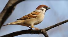 Tree Sparrow On Branch, Passer...