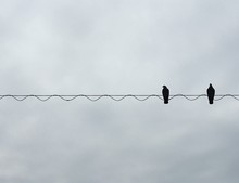 Twp Pigeons Perching On Cable