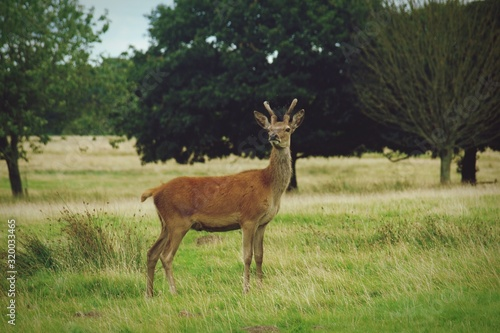 Canvas Print side view of DEER ON GRASSY FIELD