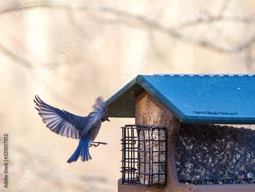 Fotografering Blue Bird Flying By Birdhouse