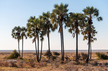 A Group Of Palm Trees In Etosha National Park, Namibia