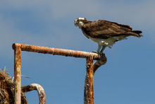 Low Angle View Of Osprey Perching Against Sky