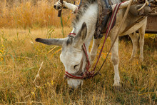 Donkey Eats Dry Grass In The F...