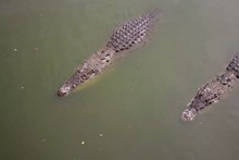 High Angle View Of Two Crocodile In Pond