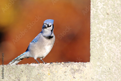Close-Up Of Blue Jay Perching On Retaining Wall Fototapet