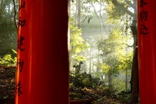 Forest Morning Sun In Japan