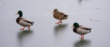 Mallard Ducks On Frozen Lake