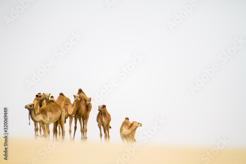 Foto Camels Standing On Desert Against Clear Sky