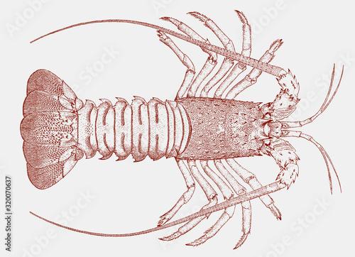California spiny lobster, panulirus interruptus from the eastern pacific ocean i Wallpaper Mural