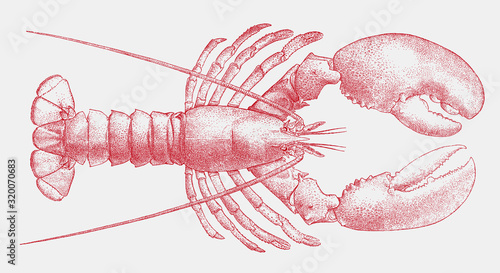Fotografie, Obraz American lobster, homarus americanus, the popular seafood from the Atlantic coas