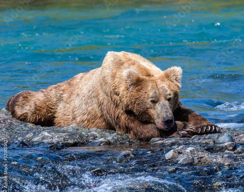 Brown Bear at McNeil River in Alaska