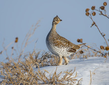 Sharp-tailed Grouse In The Snow