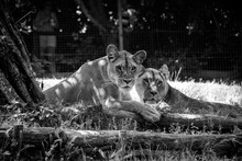 PORTRAIT OF Two Lions