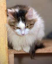 White And Brown Fluffy Cat