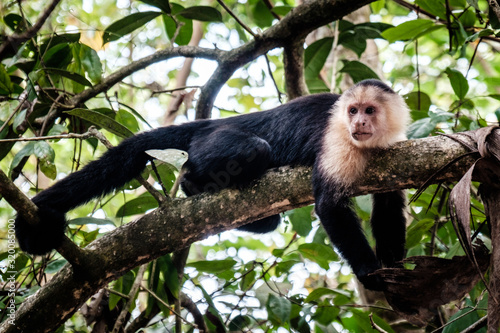 Fotografija Side View Of Capuchin Monkey On Branch