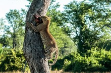 Low Angle View Of Jaguar Carrying Prey While Climbing On Tree Trunk