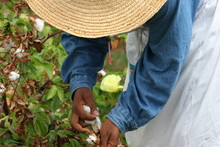 Man Harvesting Sea Island Cotton On Field