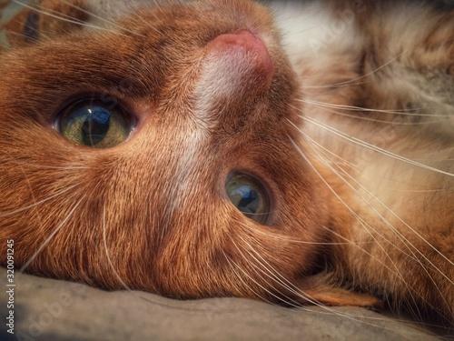 Obraz na plátně Close-Up Of Ginger Cat