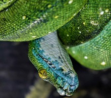 Green Snake Coiled Up On A Bra...