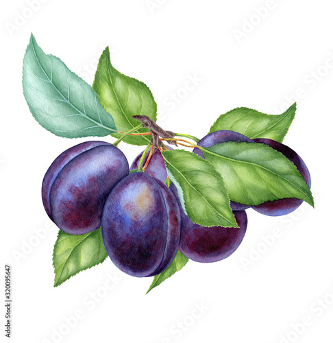 Carta da parati Watercolor illustrations with plums isolated on the white background: fruits, br
