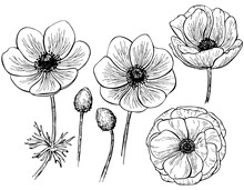 Hand Drawn Anemone Flower Isolated On White Background. Set Of Elements. Vector Illustration. Perfect For Invitation, Greeting Card, Fashion Print, Banner, Poster For Textiles, Design, Coloring Book.