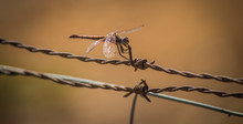 Close-Up Of Dragonfly On Barbed Wire
