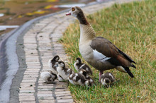 Egyptian Goose With Goslings On Field