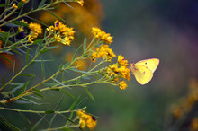 Clouded Sulfur Butterfly Feeding On A Flower