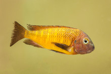Close-Up Of Cichlid Fish