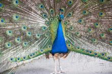 Peacock Standing With Beautifu...