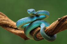 Coiled Blue Viper Snake On A Branch, Indonesia