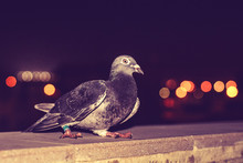 Close-Up Of Pigeon Perching On Retaining Wall At Night