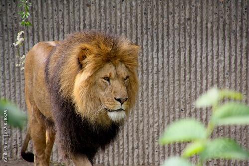 Cuadros en Lienzo Lion Walking Against Wall In Zoo