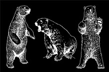 Graphical Set Of Polar Bears Isolated On Back Background,vector Engraved Illustration