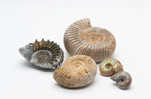 Ammonite Fossil Shells