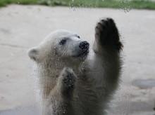 CLOSE-UP OF Polar Bear