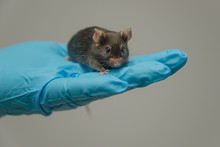 Laboratory Black Mouse Is Sitting At A Person Hand In Cool Blue Glove With Homogenous Grey Background, Details, Closeup