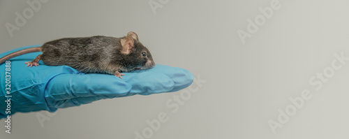 Obraz Laboratory black mouse is sitting at a person hand in cool blue glove with homogenous grey background, details, closeup - fototapety do salonu