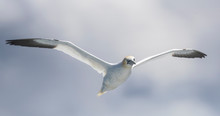 Low Angle View Of Gannet Flying Against Sky
